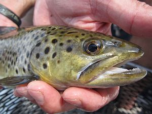 Hiwassee River Brown Trout